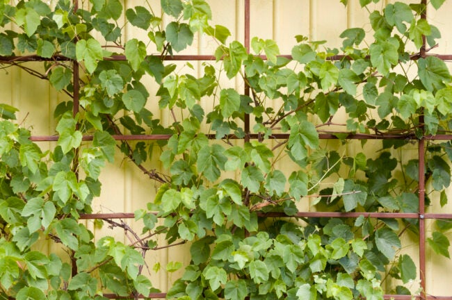 how_to_grow_grapes