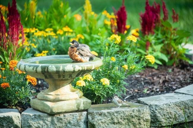 robin in birdbath to get rid of earwigs