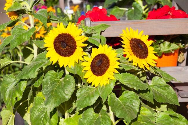 Big sunflowers in garden in Germany