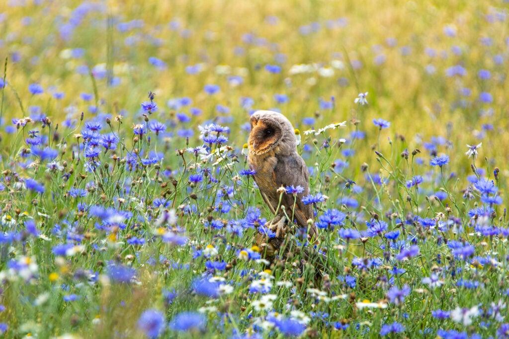 Barn owl sits in cornfield between blue cornflowers