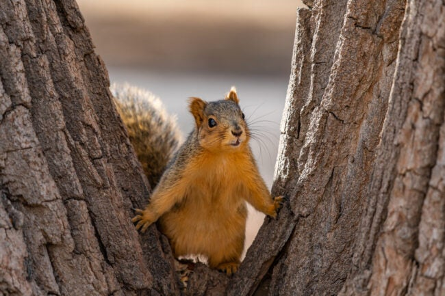 A casual Fox Squirrel Ready to Listen