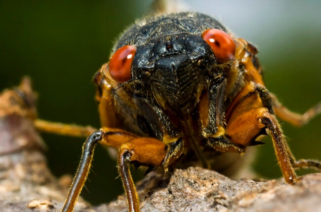 Cicada (Brood X) - Several hours after shedding it's skin, a cicada waits for it's shell to harden on a tree branch
