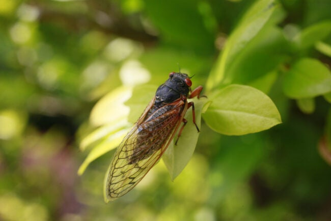 A cicada rests in the leaves of a bush after emerging from its shell. Early Brood X Cicadas have emerged 4 years early May 25, 2017 in Bloomington, Indiana. The insects, which have a 17 year cycle, were not due to eme