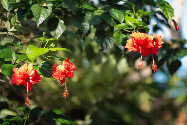 The Best Fertilizer for Hibiscus Options