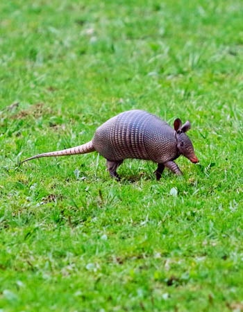 How to Get Rid of Armadillos Before You Begin