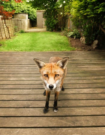 How to Get Rid of Foxes Before You Begin