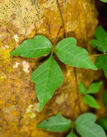Poison Ivy vs. Poison Oak Poison Ivy Grows as a Vine