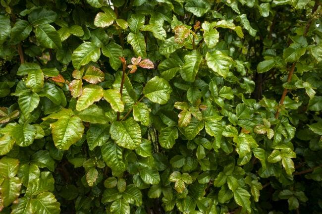 Poison Ivy vs. Poison Oak Poison Oak Has Shiny Green Leaves