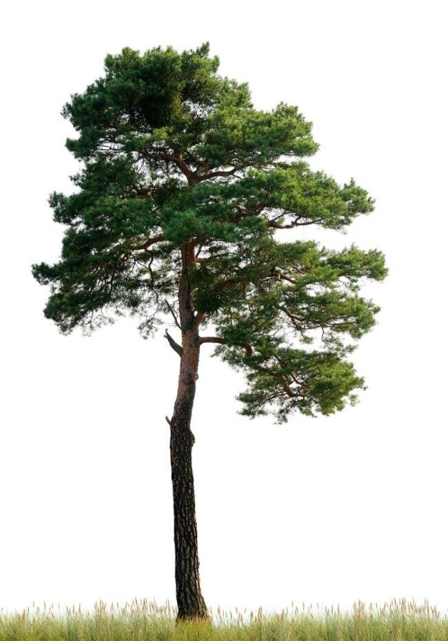 types of pine trees - scot pine