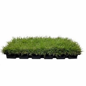 "The Best Grass For Sandy Soil Option: Florida Foliage Zoysia Sod Plugs - 3"" x 3"" Plugs"