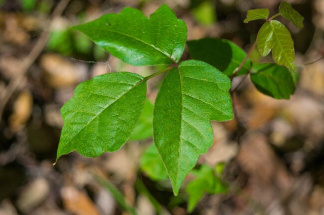 What Does Poison Ivy Look Like