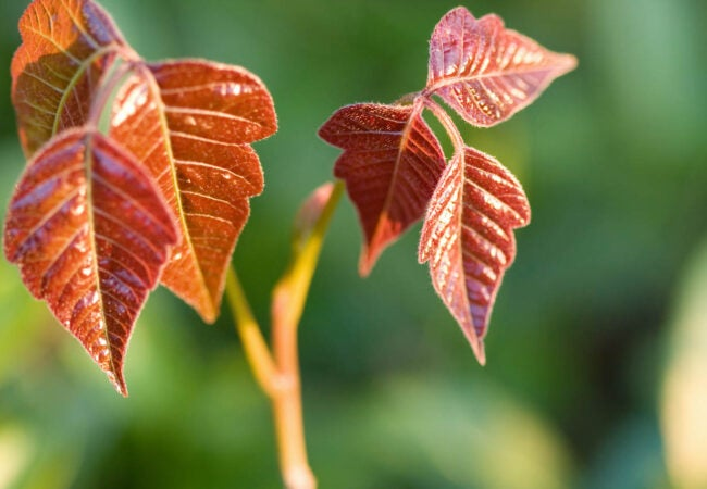What Does Poison Ivy Look Like Older Leaves Change Color