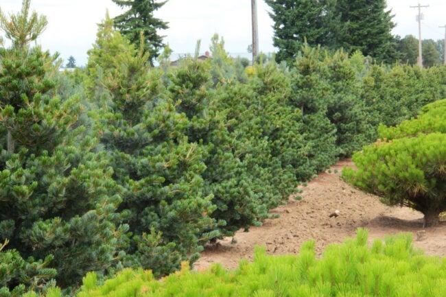 types of pine trees - japanese white pine