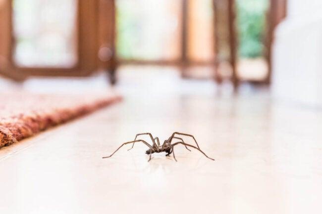 为什么我家里有这么多蜘蛛