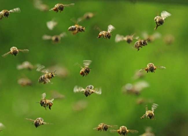 flying honeybees about to swarm