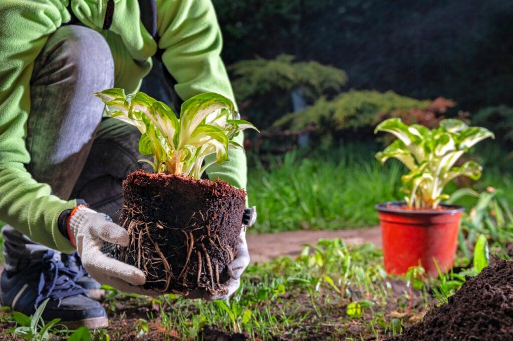 when to plant hostas