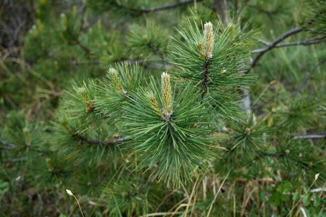 types of pine trees oregon pine