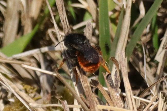 types of bees - mason bee