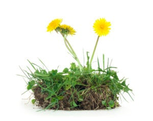 what are dandelions good for