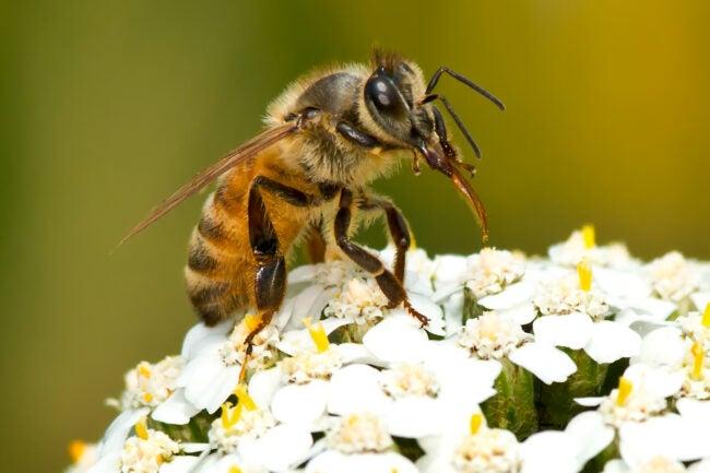types of bees - honeybee