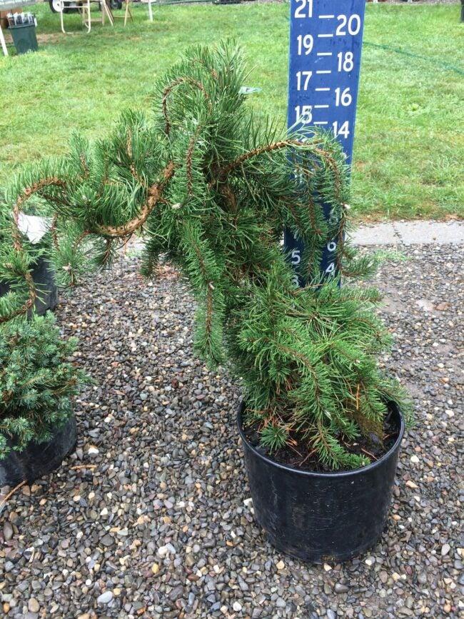 uncle fogy jack pine tree