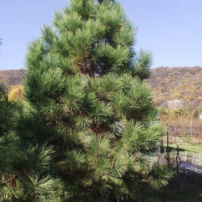 types of pine trees - jeffrey pine tree