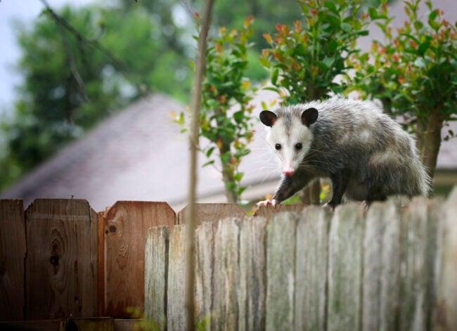 Opossums Eat Ticks