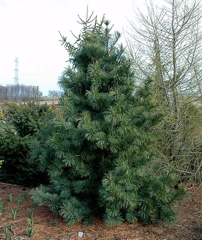 types of pine trees silveray korean pine