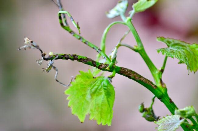 tree diseases brown stems