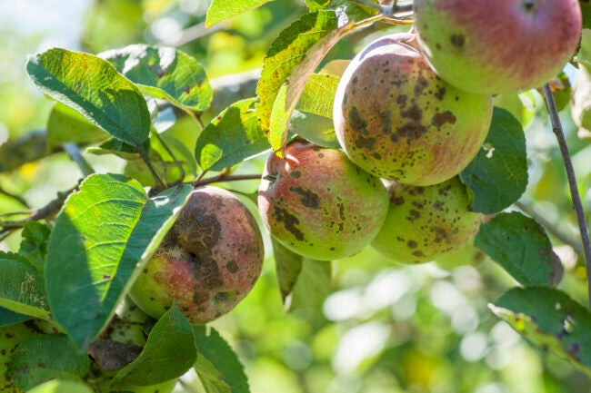 tree diseases apple scab