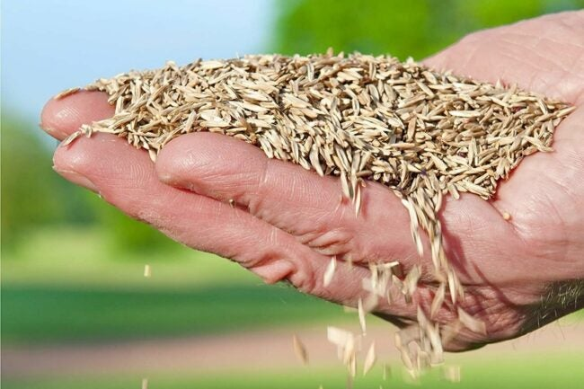 The Best Kentucky Bluegrass Seed Option