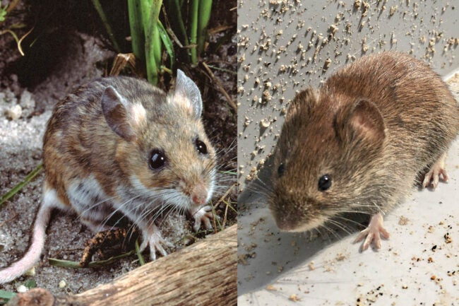 House Mouse vs. Deer Mouse