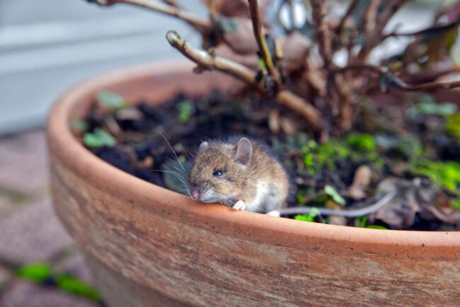 House Mouse vs. Deer Mouse Different Length