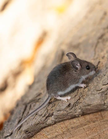 House Mouse vs. Deer Mouse Different Tails