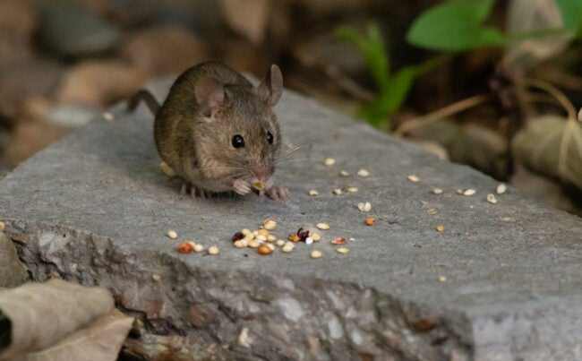House Mouse vs. Deer Mouse Hoarding