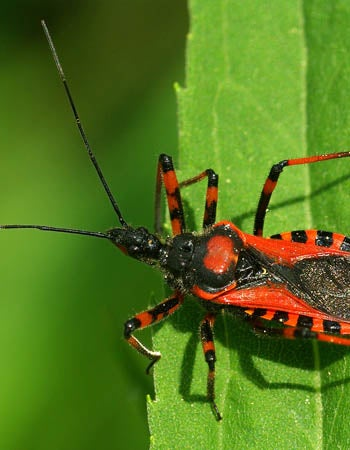 How To Get Rid of Kissing Bugs Before You Begin