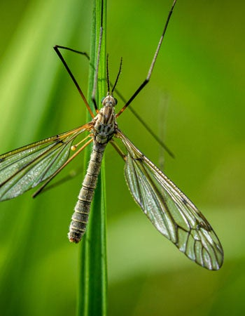 How to Get Rid of Crane Flies Before You Begin