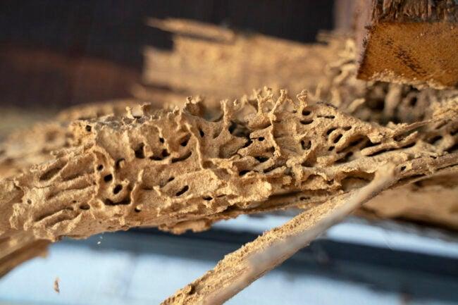 What Do Termites Look Like Termites Eat Wood