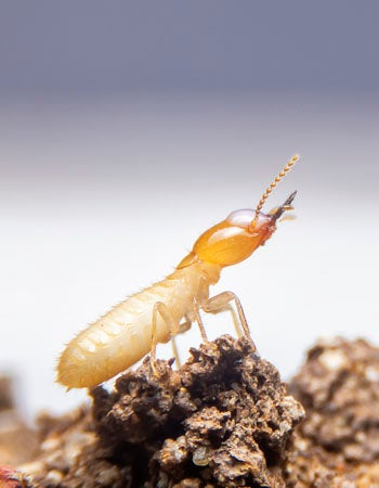 What Do Termites Look Like the Length