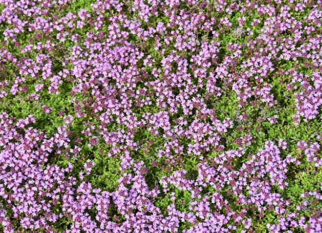 creeping thyme lawn flowers