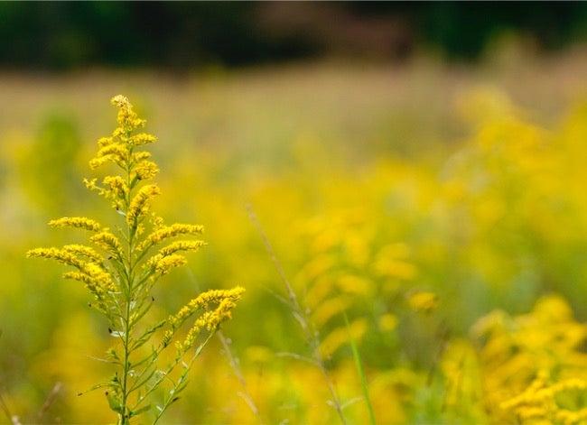 ragweed vs goldenrod