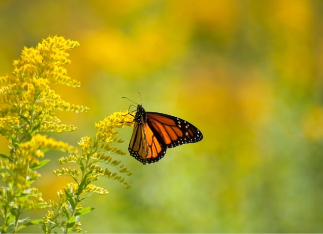 ragweed vs goldenrod for pollinators