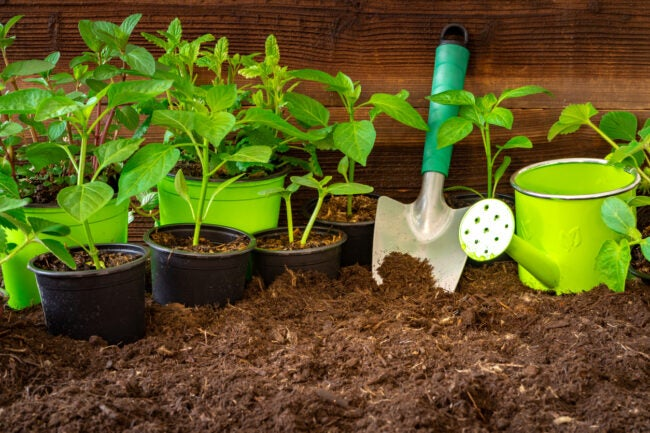 Gardening tools,lavender, rosmary, strawberry plants and seedlings on soil.