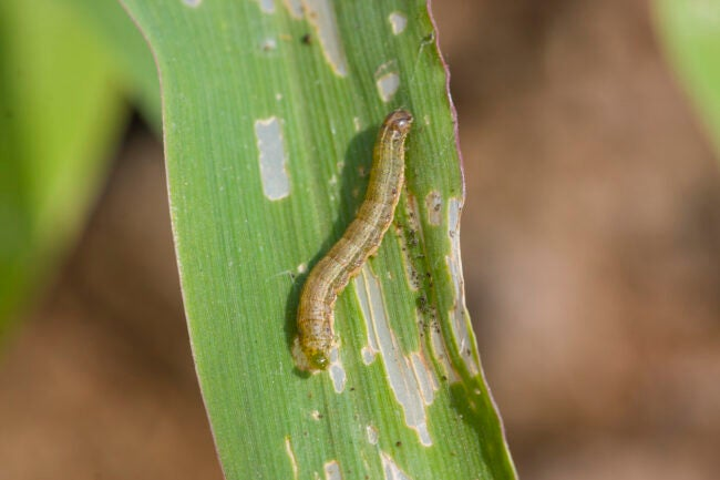 how to get rid of armyworms