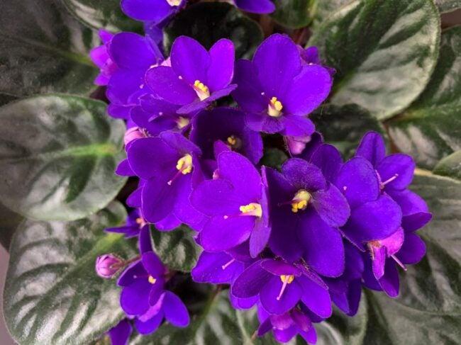 African Violet Care