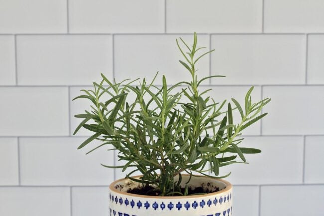 How To Propagate Rosemary Place Into Pots