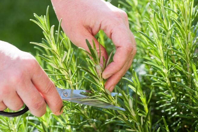 How To Propagate Rosemary Select Stems