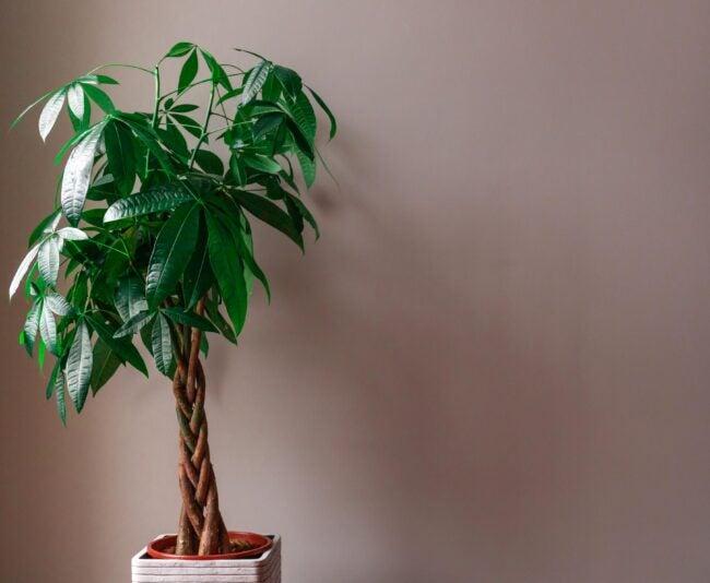 Money Tree Care