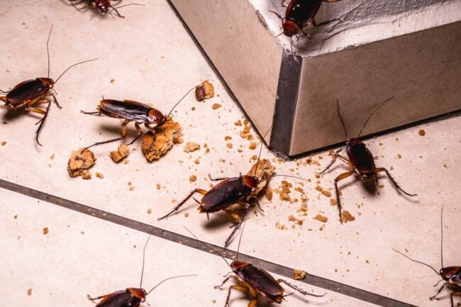 What Attracts Cockroaches Food Crumbs