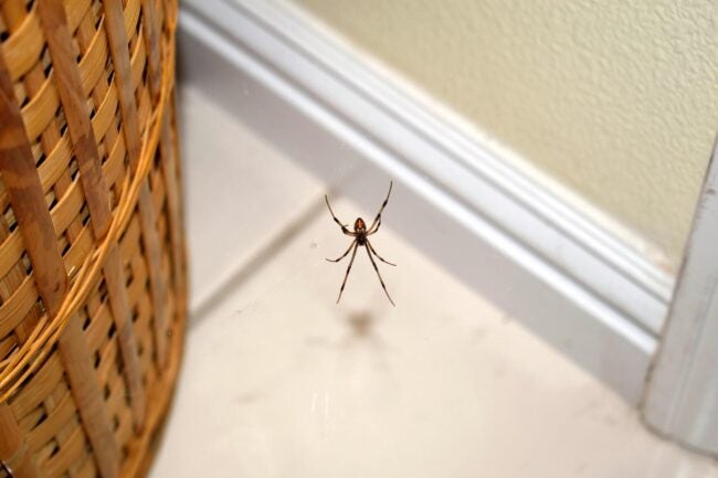 What Attracts Spiders Dangerous Species